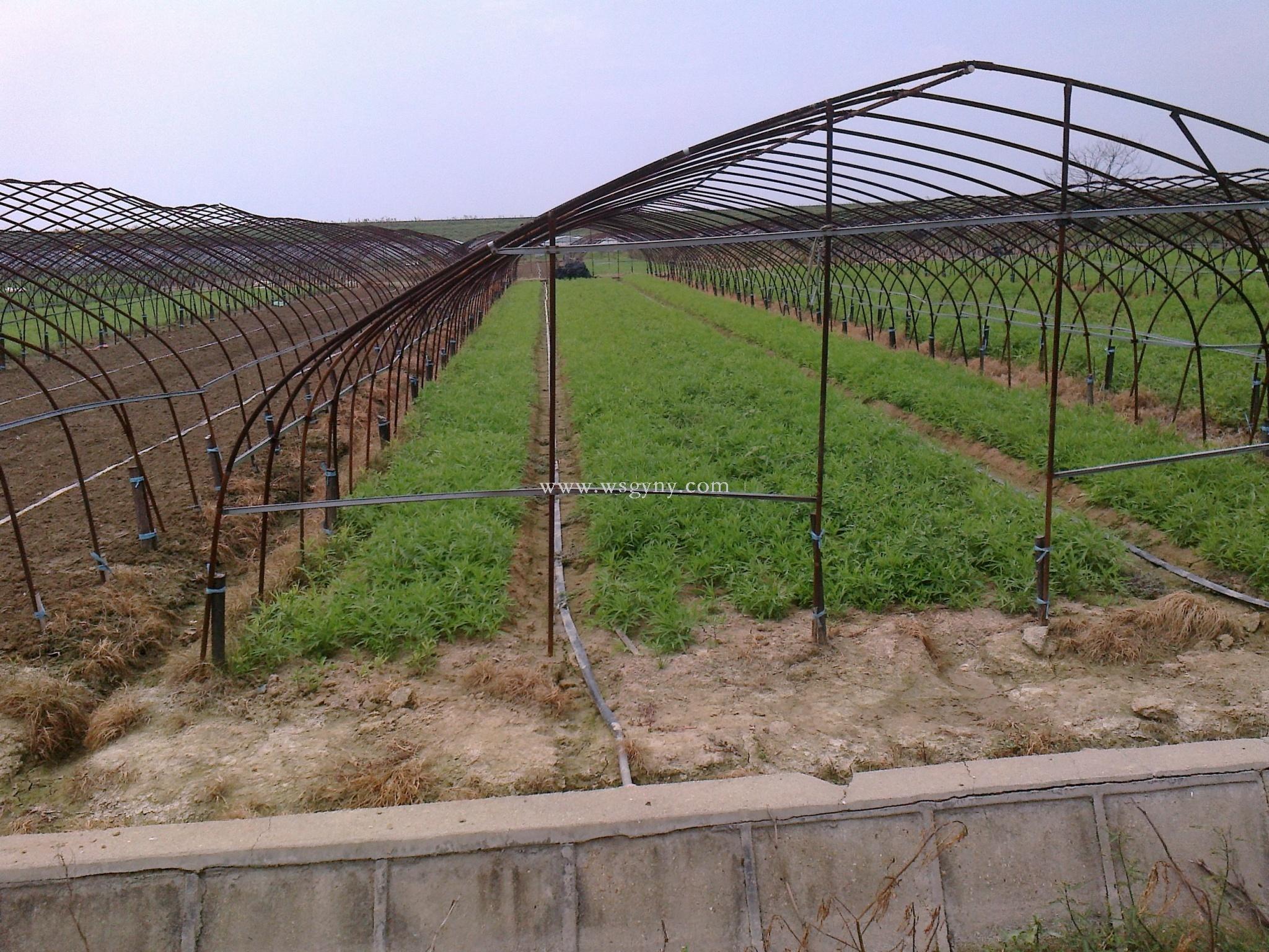 藜蒿大棚种植基地
